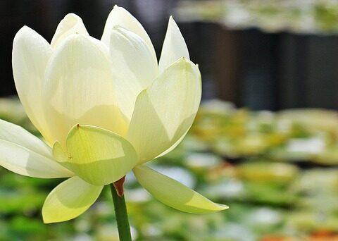 Was bedeutet die Lotusblume im Yoga? / Pixabay